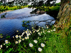 River Ure (tina negus) Tags: tree river ure yorkshire dales hawes wensleydale