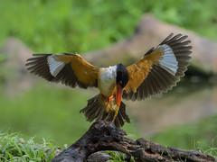 Black-capped Kingfisher _ Dongguan ☺ (mahi mahi 163) Tags: kingfisher 80400mm china