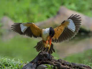 Black-capped Kingfisher _ Dongguan ☺