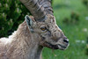 Bouquetin des Alpes - capra ibex (olivier teilhard) Tags: bouquetin bouquetindesalpes capraibex ibexofthealps nature sauvage libre vercors drôme rhônealpes france canon7dmarkii canonef100400mmf4556lisiiusm olivierteilhard