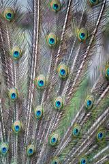 Indian peafowl (Cloudtail the Snow Leopard) Tags: pfau tier animal vogel bird blauer pavo cristatus indian peafowl blue zoo stadtgarten karlsruhe