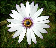 Daisy Close-Up .. (** Janets Photos **) Tags: uk nature plants flowers flora daises daisyvarieties closeups macro