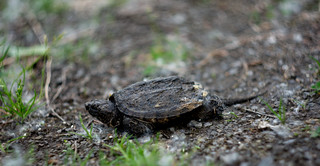 Small Turtle on the pathway