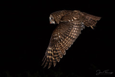Food Flight (Mr F1) Tags: wild tawny owl owls strixaluco johnfanning nature bif birdsinflight owlinflight night dark nightphotography wales uk hide feeding detail closeup wildlife raptor eyes darkness woodland woods forest trees