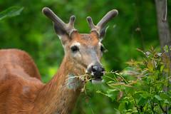 SpringGreens (jmishefske) Tags: wehr eating buck nature d500 center whitnall milwaukee velvet antler june green rack wisconsin 2018 park whitetail nikon franklin deer wildlife