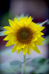 NATURE | Sensuality | PERFECTION (GAZ BLANCO photographer) Tags: beauty nature closeup flower head flowering plant fragility freshness growth inflorescence petal pollen sunflower vulnerability yellow puglia lecce color giallo sole sun fiore
