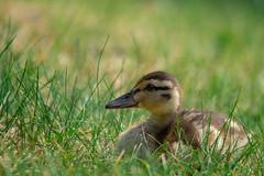 IMG_1824 (d_propp) Tags: lake beaumaris mallard duck
