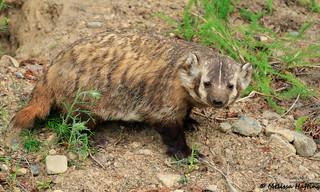 American Badger cub (Taxidea taxus) - BC