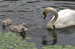 Baby swans on the canal at Preston (Tony Worrall) Tags: preston lancs lancashire city welovethenorth nw northwest update place location uk england north visit area attraction open stream tour country item greatbritain britain english british gb capture buy stock sell sale outside outdoors caught photo shoot shot picture captured ashtononribble ashton bird cygnet baby young swan cute beauty wild wildlife wet water canal lancastercanal