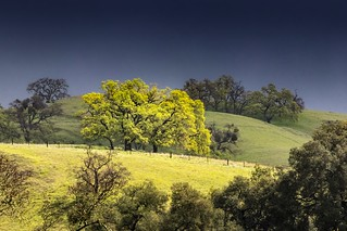 Sunol Hillside Trees in Soft Light 5