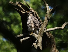 FEMALE SPARROWHAWK (andrewcade) Tags: female sparrowhawk