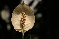 Tropical (Ce Rey) Tags: tropical flor planta nature naturaleza light lowkey 7dwf flowers macromademoiselle