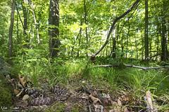 Eastern Massasaauga Rattlesnake (Nick Scobel) Tags: eastern massasauga rattlesnake rattler michigan pit viper venomous habitat wide angle hardwood forest swamp fen coiled hidden