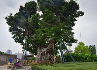 Rubber Tree on Fortaleza do Monte - Santo António Macau