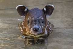 Tiny Tapir Pool Party (San Diego Zoo Global) Tags: animals nature tapir baby calf cute sandiego zoo conservation endangered