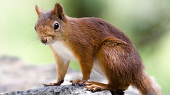 Norwegian squirrel (Lars Emil J) Tags: nature norway norge norwegian mandal furulunden twop