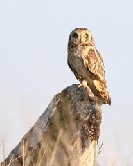 464A0132 (Cilmeri) Tags: shortearedowl owls raptors birdsofprey snowdonia eryri wales gwynedd trawsfynydd bbcwalesnature bbcspringwatch