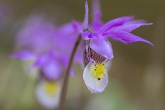Calypso Orchid (Edmonton Ken) Tags: calypso bulbosa orchid flower beautiful plant green purple yellow spot stamen glands venuss slipper monocot calypsoeae angiosperms asparagales orchidaceae macro people photo