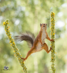 Red squirrel climbing between mullein (Geert Weggen) Tags: beauty blossom blue closeup colorimage delphinium extremecloseup field flower flowerhead flowerbed fragility greencolor growth herb leaf multicolored nature nopeople outdoors perennial petal photography plant publicpark scenicsnature season spice springtime summer vertical vibrantcolor eurasianredsquirrel autumn animalwildlife animalsinthewild winter woodland squirrel rodent mammal garden split spread yoga reaching greatmullein commonmullein mullein square bispgården jämtland sweden geert weggen ragunda