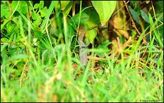 Indo-Chinese Rat Snake (Ptyas korros) (Steve Arena) Tags: bangchakfields bangchak tambonbangchak petchaburi phetchaburi thailand thailandbirding2017 2017 nikon d750 bird birds birding indochineseratsnake ptyaskorros chineseratsnake ratsnake snake
