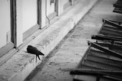 (Mikko Luntiala) Tags: 2018 bw bird blackandwhite d600 france june kesä kesäkuu lintu mustavalkoinen marseille marseilles mikkoluntiala nikond600 pigeon pulu ranska summer tamronsp70200mmf28divcusdg2