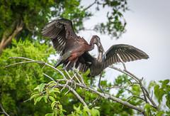 Glossy Ibis -  feeding her young 07.12.18 (in explore) (Lee J2) Tags: glossyibis plegadisfalcinellus feeding inexplore