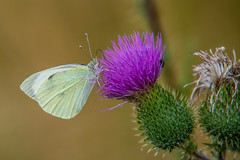 Flattermann (matthias_oberlausitz) Tags: kleiner kohlweisling falter schmetterling distel butterfly weisling weissling kohlweissling