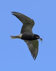 Black Tern, with a snack.... (CaddyBay) Tags: blacktern albertacanada