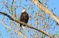 Bald Eagle / Pygargue à tête blanche (ricketdi) Tags: bird pygargueàtêteblanche haliaeetusleucocephalus baldeagle