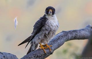 Peregrine Falcon (m)
