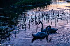 Cong River, Ireland - Summer 2018-162.jpg (jbernstein899) Tags: birds swans congriver cong sunset ireland bog