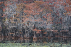 Southern Congregation (Willie Huang Photo) Tags: bayou swamps southeast cypress baldcypress autumn fallcolors fall trees landscape scenic nature red