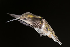 Female Ruby Throated Hummingbird (Vic Zigmont) Tags: hummingbird rubythroatedhummingbird birdinflight