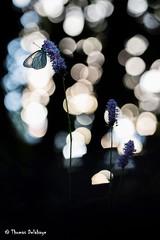 """"""" Bulles ensoleillées sur le Gazé """" (Thomas Delahaye) Tags: proxi thomas delahaye gazé aporia crataegi sunrise savoie alps bokeh canon 100mm ngc butterfly papillon"""