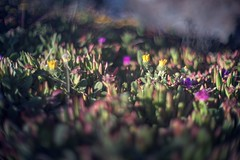 A sliver of space and time (PeterThoeny) Tags: sanfranciscobayarea pointmontaralighthouse montarastatebeach pacific pacificocean ocean beach plant flower wildflower day dof depthoffield shallowdepthoffield bokeh sony a7 a7ii a7mii alpha7mii ilce7m2 fullframe vintagelens dreamlens canon50mmf095 canon 1xp raw photomatix hdr qualityhdr qualityhdrphotography blur macro fav100 montara california