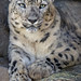 Anna in All Her Fluffy Loveliness (Penny Hyde) Tags: bigcat leopard sandiegozoo shared snowleopard