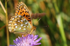 Dark Green Fritillary (Argynnis aglaja) 110718 (5) (Richard Collier - Wildlife and Travel Photography) Tags: wildlife naturalhistory nature macro closeup insects butterflies british darkgreenfritillary argynnisaglaja ngc