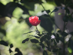 DSC09041 (Old Lenses New Camera) Tags: sony a7r kodak medalist ektar heliar 100mm f35 plants garden flowers rose roses