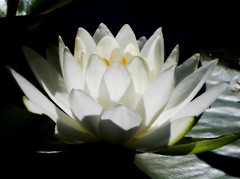Like the Lily (dianecordell) Tags: waterlily lilies quotes white flowers hoveypondpark pond queensburyny nature journey july summer