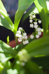 Shaded 2 (daniel.lih.photography) Tags: seattle spring flower bulb springbulb plant plants freelensing freelens bloom 2018 garden gardening canonbody nikonlens winterbulb whiteflower lilyofthevalley lily valley convallariamajalis convallaria majalis closeup springflower sun sunlit