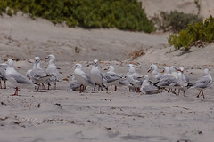 A flock of common seagulls sheltering behind the sand dunes from strong winds (Malcom Lang) Tags: gull seagull commongull common chroicocephalus novaehollandiae seabird flock beach sand dunes sanddunes seaweed weed sticks bush vegetation windbreak feathers legs beaks eyes foreshore foreground canoneos6d canon canon6d canonef canon100400 100400mm canon100400ef canonef100400 southaustralia southern south southernaustralia southerneyrepeninsula eyrepeninsula eyre lowereyrepenninsula portlincoln lincoln lincolnnationalparksouthaustralia lincolnnationalpark nationalpark birdsofafeather ngc ag mal lang photography mallangphotography