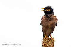 Angry Bird (Phuketian.S) Tags: bird watching common myna indian mynah animal sturnidae thailand asia fun funny acridotheres tristis disheveled angry sky tree