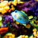 Boxfish (Ostraciidae Rafinesque) of Enoshima Aquarium, Fujisawa : ハコフグ(藤沢市・新江ノ島水族館)