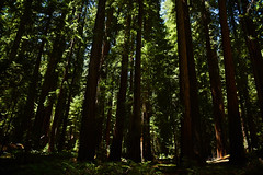 Redwoods (supercell70) Tags: forest wood tree trees green nature redwood redwoods