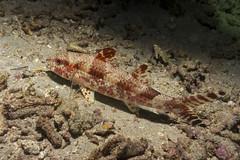 Upeneus tragula. Веснушчатая козобородка (atardecer2018) Tags: бали 2017 дайвинг night scubadiving bali underwater diving