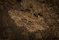 Pleurolopha nebridota (dustaway) Tags: arthropoda insecta lepidoptera geometridae ennominae pleurolophanebridota geometermoth geometridmoth australianmoths australianinsects tamborinemountain mounttamborine sequeensland queensland australia