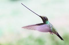 Colibrí picoespada - Sword-billed Hummingbird (Ensifera ensifera) (andresdelgado88) Tags:
