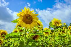Ein Feld mit Sonnenblumen (günter mengedoth) Tags: pentacon 30 mm f 35 pentacon30mmf35 pentax k5 pentaxk5 manuell historisch vintagelens bokeh sonnenblume himmel wolken feld natur