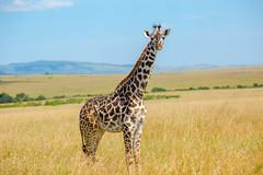 Giraffe (Mujtaba Hussain Shah) Tags: baringo giraffe kenya africa masaimara wildlife majestic safari reticulated reserve gamedrive