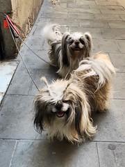 Imposible molar más que estos perretes  #perros #dogs #cane #hund #pets #instapets #mascotas #instadogs #dogsofinsta #raval #lhasaapso #peinado #look #hairstyle #cool (Carolina_BCN) Tags: perros dogs cane hund pets instapets mascotas instadogs dogsofinsta raval lhasaapso peinado look hairstyle cool